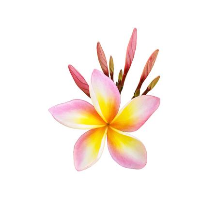 Tropical frangipani flower isolated on white background Stock Photo