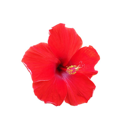 Hibiscus flower isolated on white background Stock Photo - 85332540