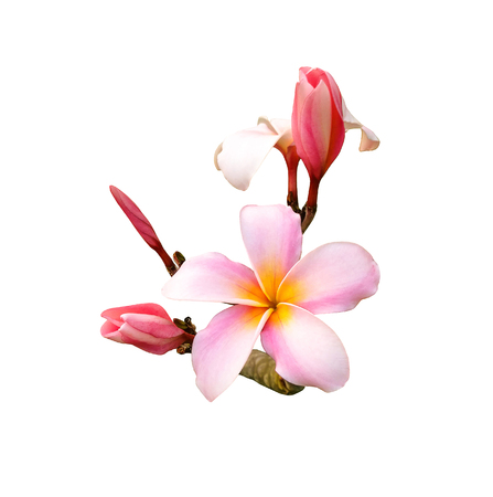 Tropical frangipani flower isolated on white background Stock Photo - 85128608