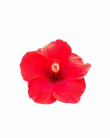 Hibiscus flower isolated on white background Stock Photo - 85128621