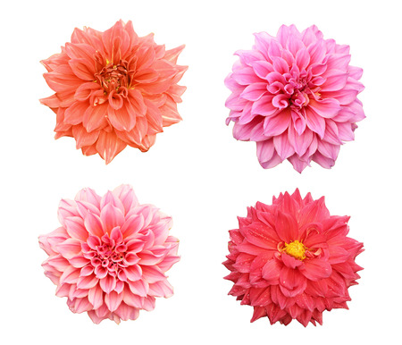 Beautiful collection of Zinnia flowers isolated on white background Stock Photo