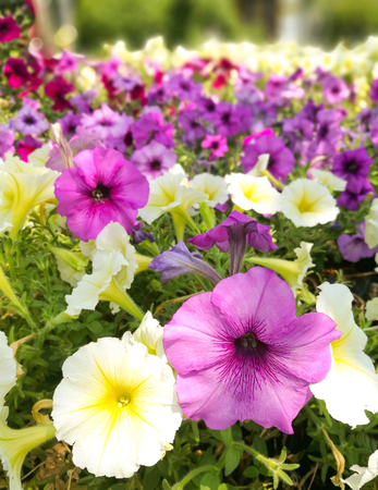 Pansy flowers in the garden Stock Photo