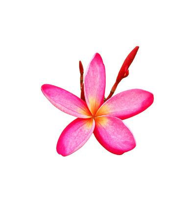 Tropical frangipani flower isolated on white background Stock Photo - 85528373