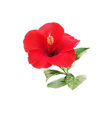 Hibiscus flower isolated on white background Stock Photo - 85509152