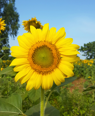 Sunflowers blooming in the field.
