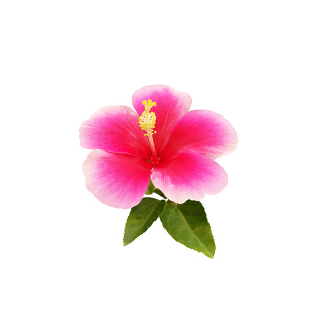 Hibiscus flower isolated on white background Stock Photo - 85528377