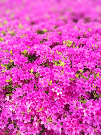 Azalea flower blossom in a park, Japan