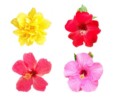 Collection of Hibiscus flower isolated on white background Stock Photo