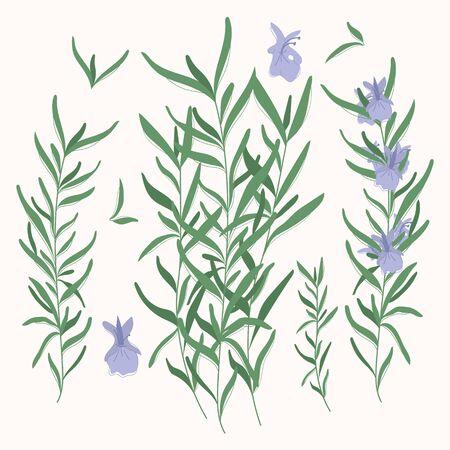 Rosemary elements. rosemary herbs isolated