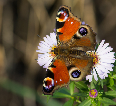European Peacock butterfly on a flowers