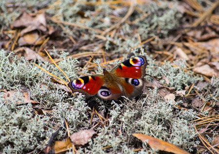 European Peacock butterfly on a moss forest floor Stock fotó