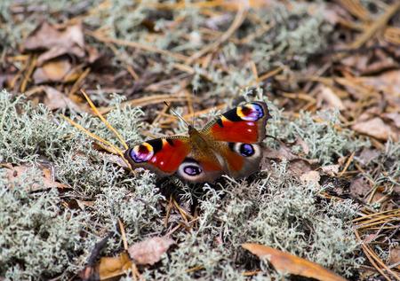 Europese Peacock vlinder op een mos bosbodem Stockfoto