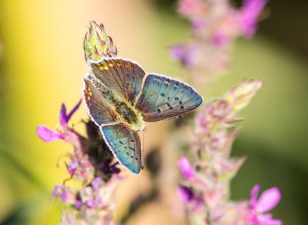 Argus blauwe vlinder
