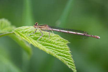 White-legged Damselfly on a green leaf