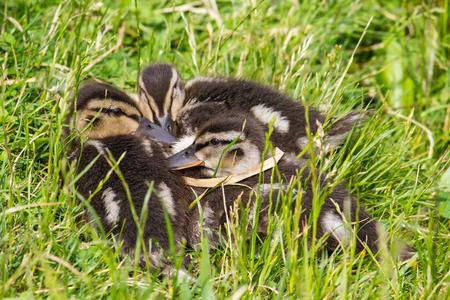 ducklings: Mallard ducklings