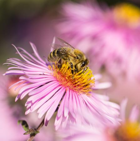 Honey bee is harvesting