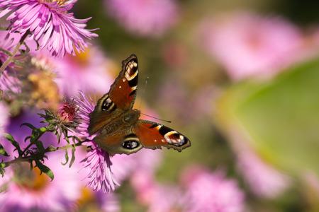 Europese Peacock vlinder op een roze bloem