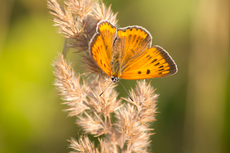 Large Copper butterfly on a straw Stock fotó
