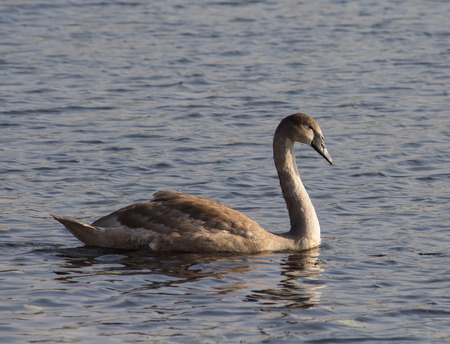 Young Mute Swan in a water