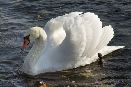 Mute Swan is swimming in a water