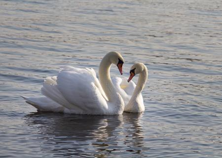 a pair: A pair of swans