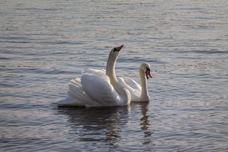 a pair: Pair of swans