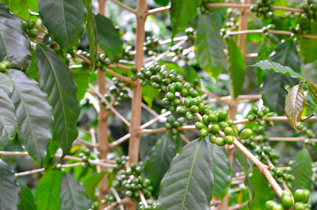 highlands region: Green coffee beans in the highlands of Boquete, Chiriqui region of Panama