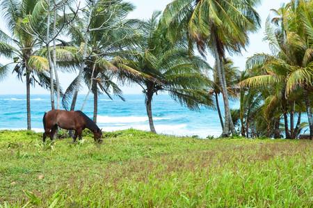 mazorca de maiz: Caballo es el pastoreo en la orilla de la isla tropical en el mar Caribe, Nicaragua Foto de archivo