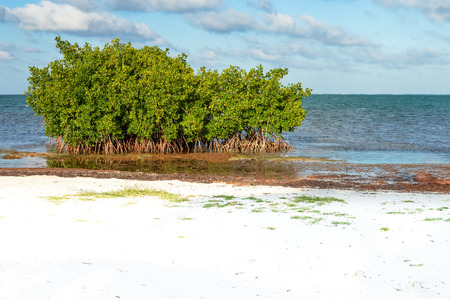 tourism in belize: Mangrove trees and Sargasso seaweed by the beach of Caye Caulker island, Belize Stock Photo