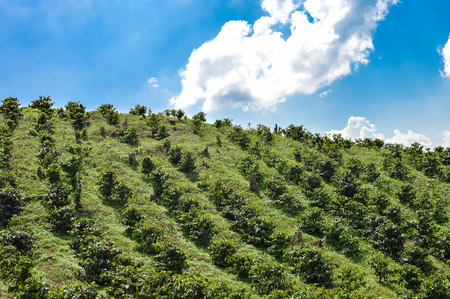 planta de frijol: Las plantaciones de café en las tierras altas del occidente de Honduras por el Parque Nacional Santa Bárbara