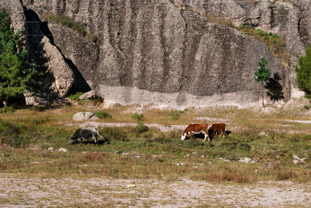 canyons: Cows grazing under old rock formations of Copper Canyons, Chihuahua, Mexico