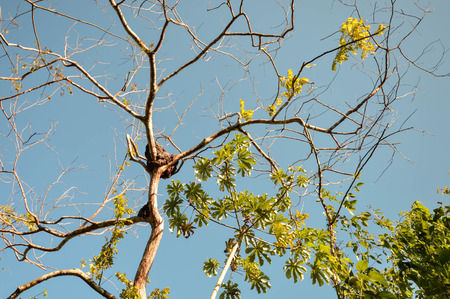 tourism in belize: Termite nest on a tree in the jungle near San Ignacio, Belize