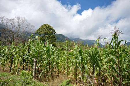 growers: Green corn field in the highlands of western Honduras by the Santa Barbara National Park. Small village of coffee growers called San Luis De Planes Stock Photo
