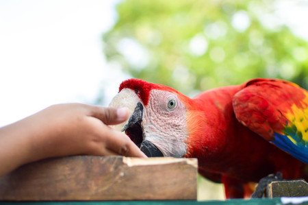 Close up of the Macaw parrot eating peanuts from the hand at the archaeological site of Copan Ruins in Western Honduras. Central America Stock Photo