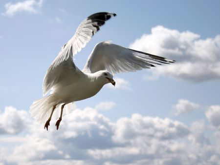 seagull with open wing in a cloudy sky