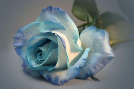 blue rose Banco de Imagens