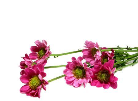 pink daisies Reklamní fotografie