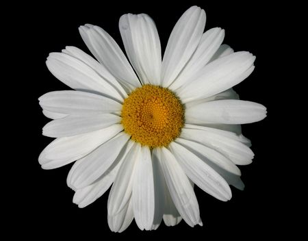 daisy design isolated over black background