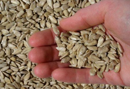 hand holding unshelled sunflower seeds over seeds background