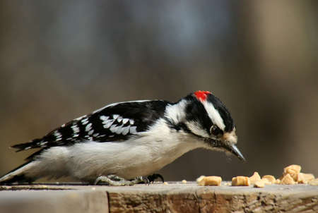 downy woodpecker: Downy woodpecker standing on a plank of wood Stock Photo