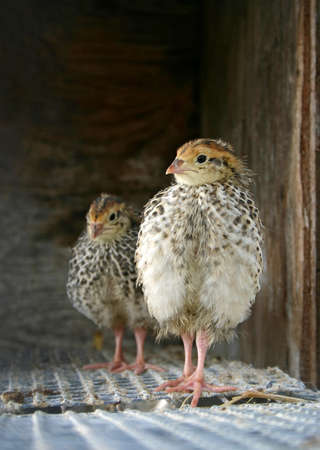 two quails in a cage photo