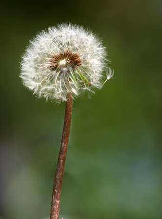 mature dandelion (2) 版權商用圖片 - 1016951