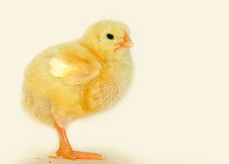 cute little yellow chick