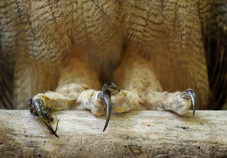 horned: primer plano en las garras Gran b�ho cornudo Foto de archivo