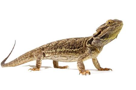 pogona vitticeps lizard isolated on white