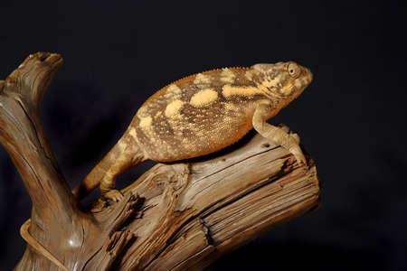 chameleon lizard: Nice colorful female panthera chameleon lizard Stock Photo