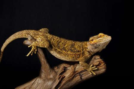 bearded dragon lizard: bearded dragon lizard on black background