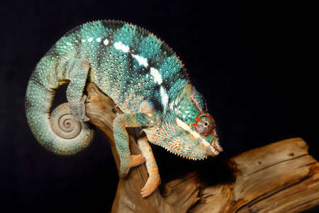 Nice colorful male panthera chameleon lizard Фото со стока