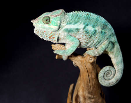 emotive: Nice colorful male chameleon lizard