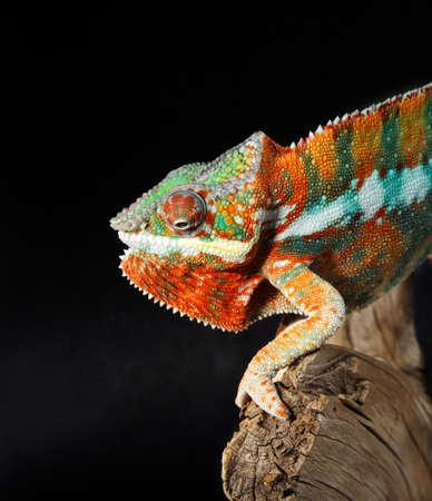 Nice colorful male chameleon lizard photo
